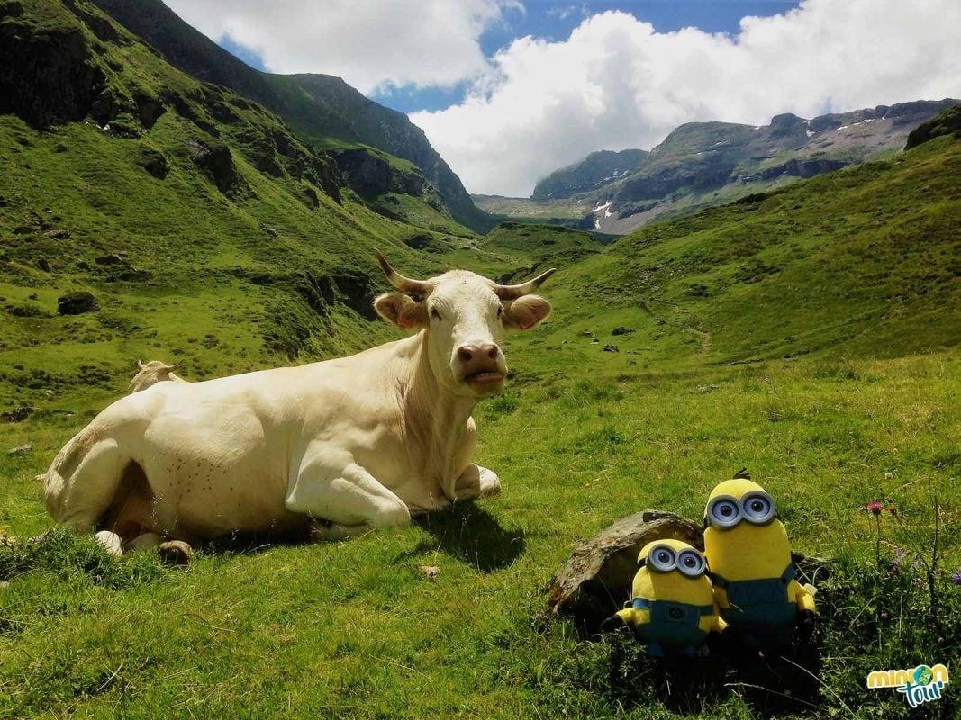 Una vaca muy salada en Piau Engaly