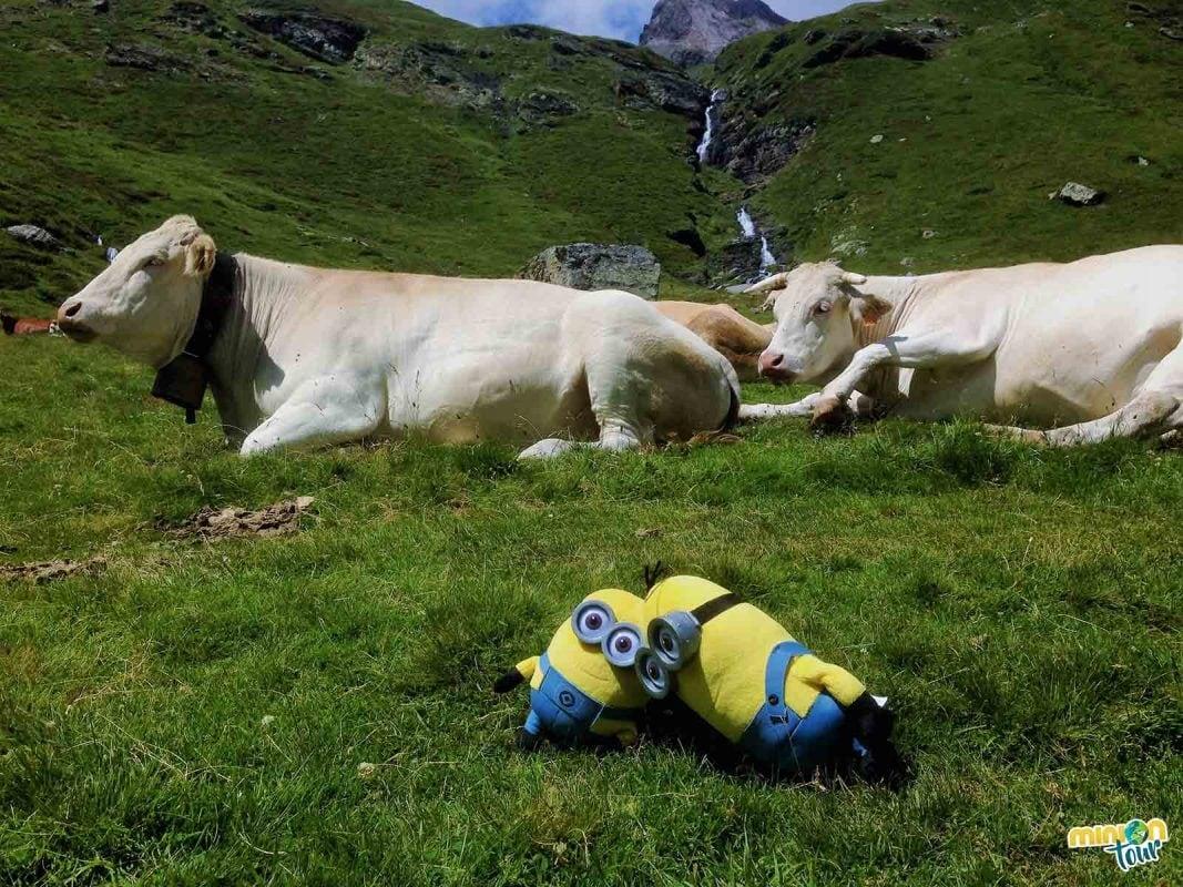 Vacas en las montañas de Piau Engaly