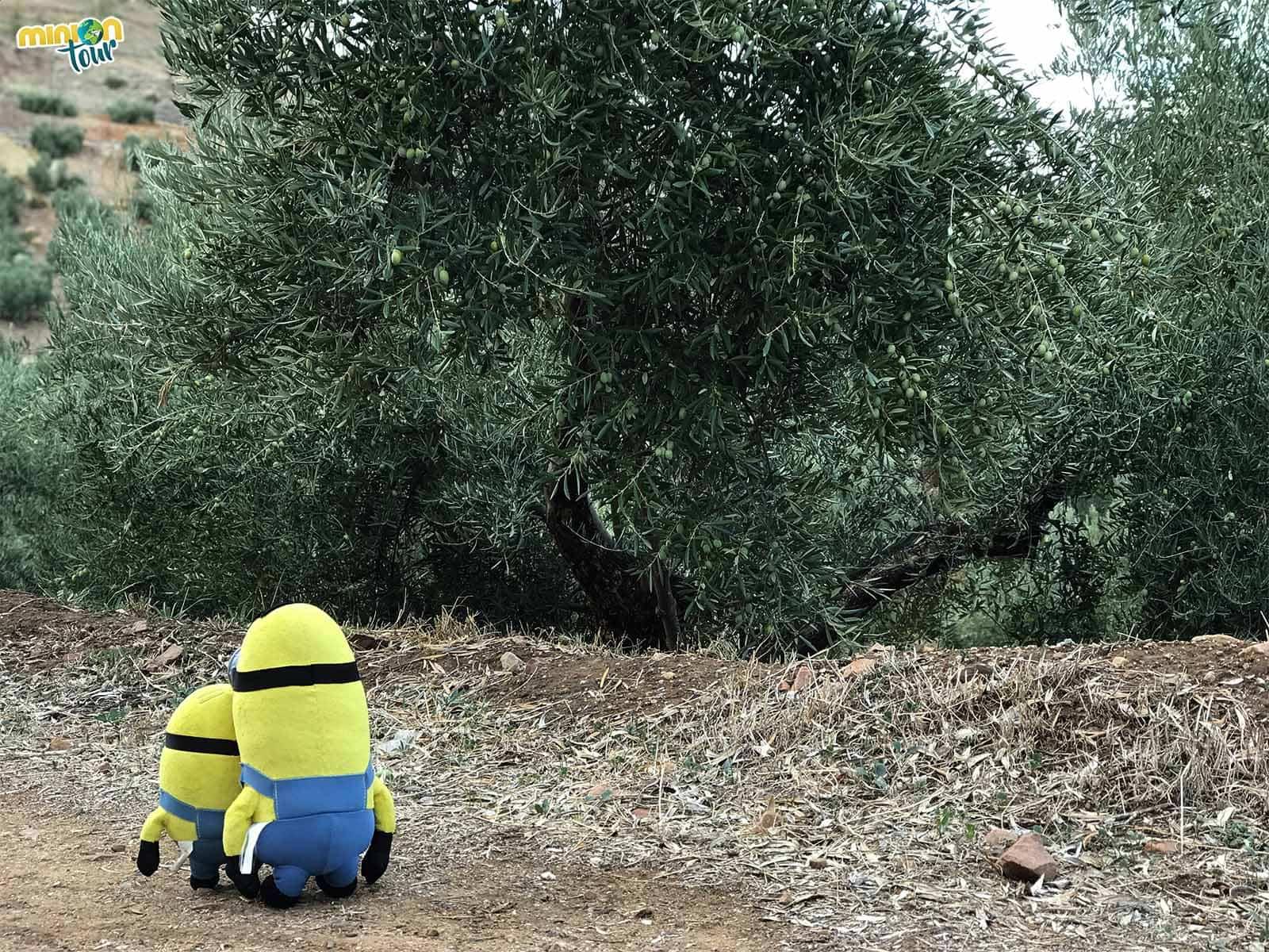 Olivos en la ruta