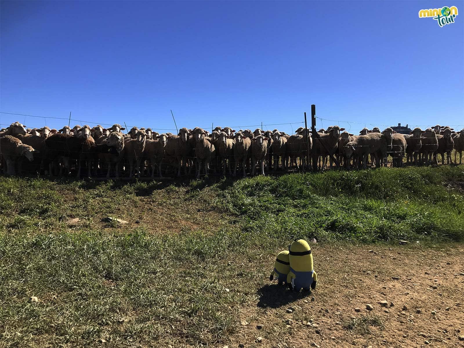 Con nuestras nuevas amiguis las ovejas