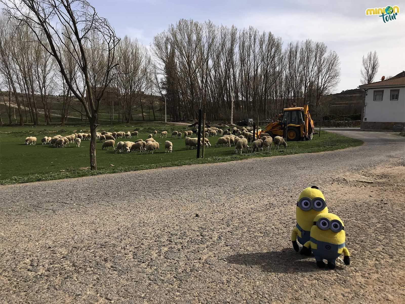 Saludando a las ovejitas de Terriente
