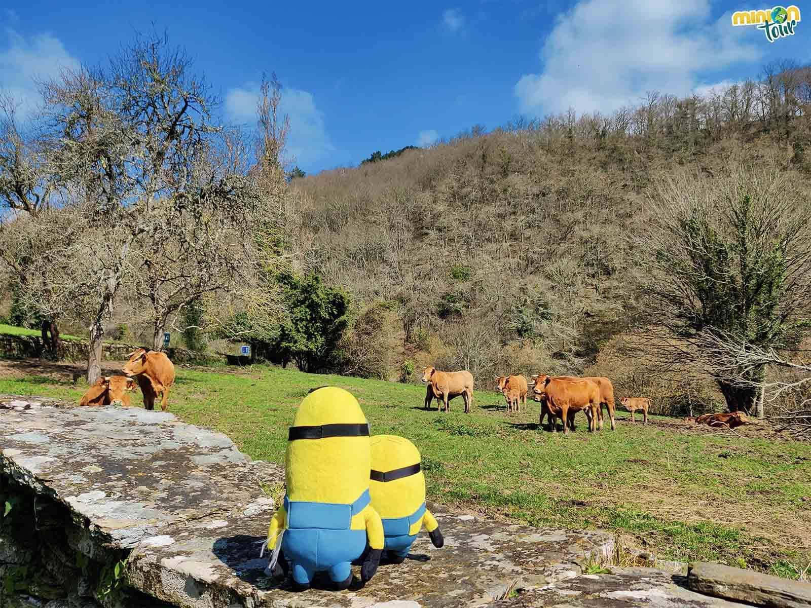 Nos hemos encontrado con unas vacas
