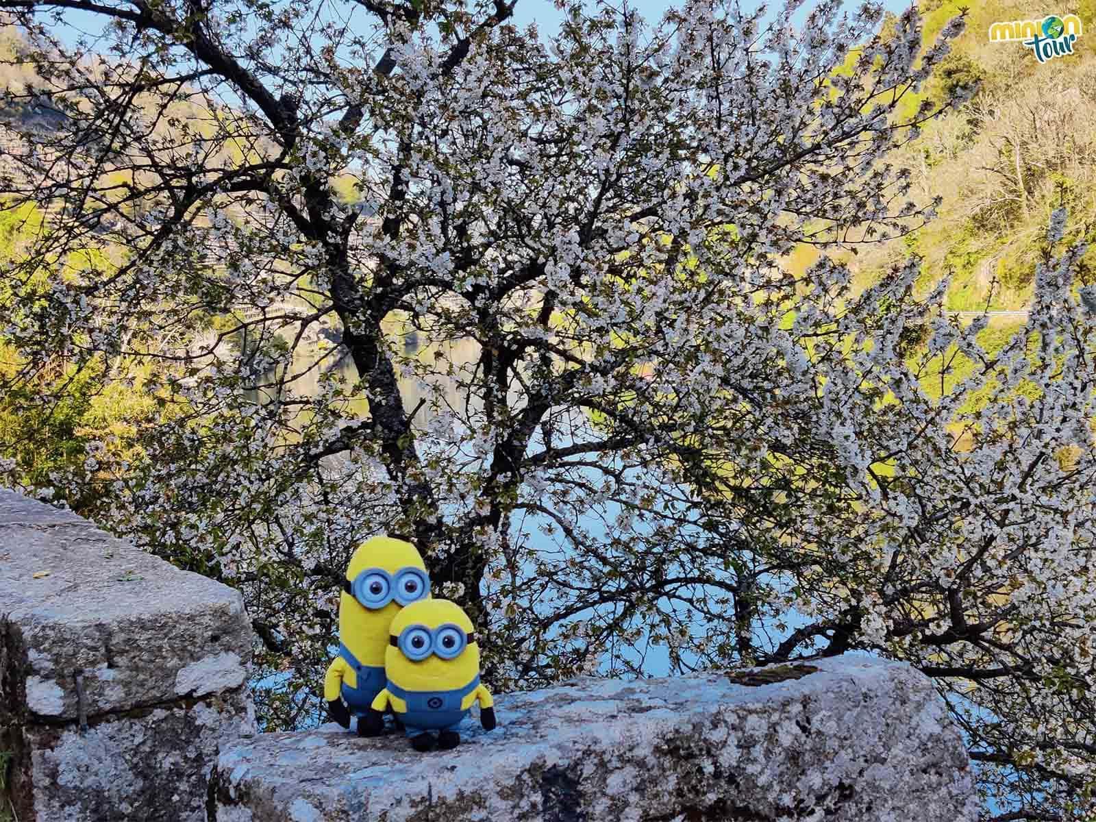 Minions visitando la floración de los cerezos de Belesar