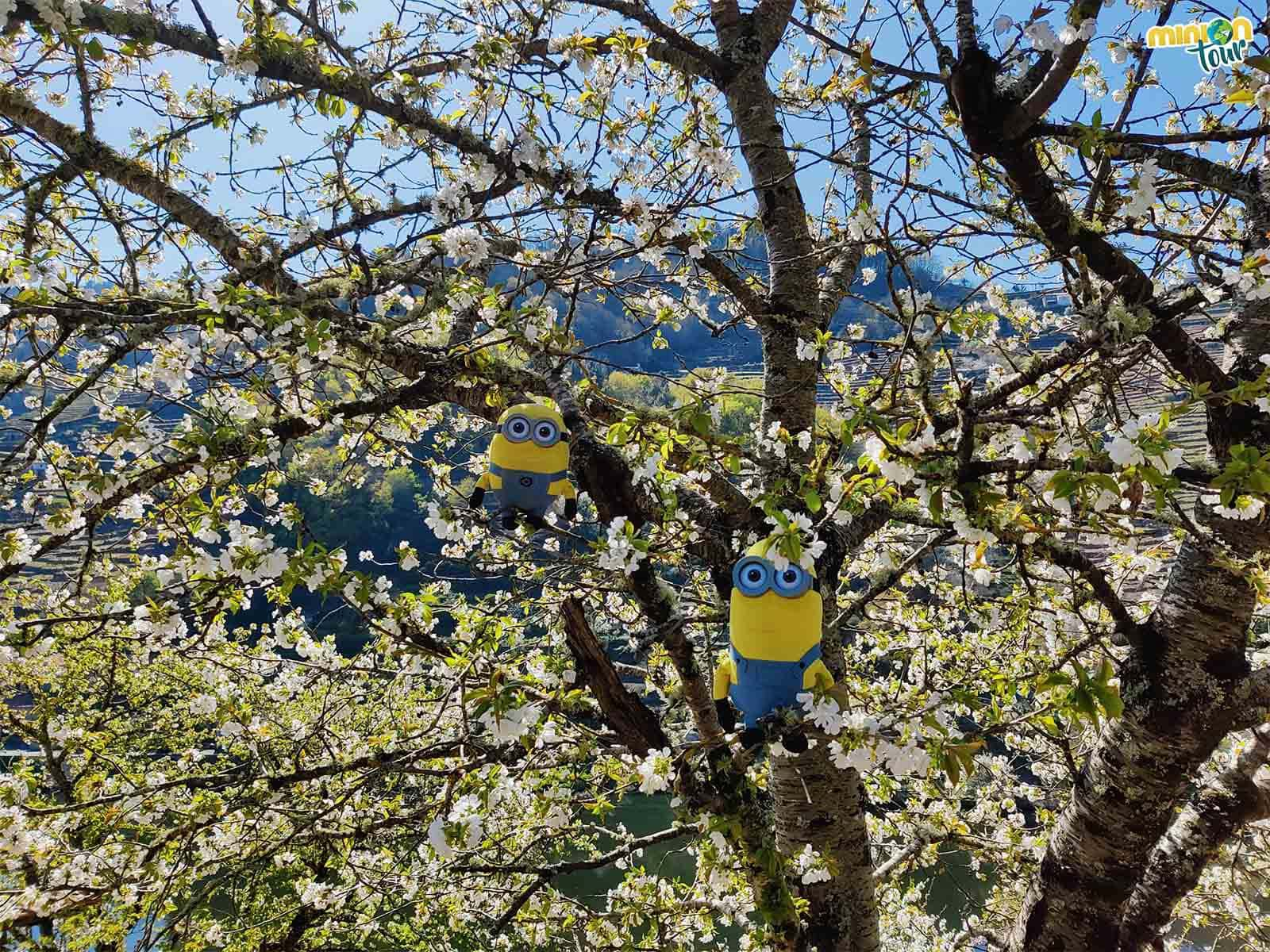Nos hemos mimetizado tanto con la floración de los cerezos en Belesar que nos hemos colado en uno