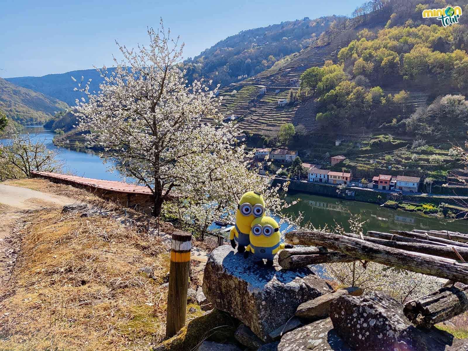 Nada más llegar y los arbolitos ya nos saludan en la floración de los cerezos en Belesar