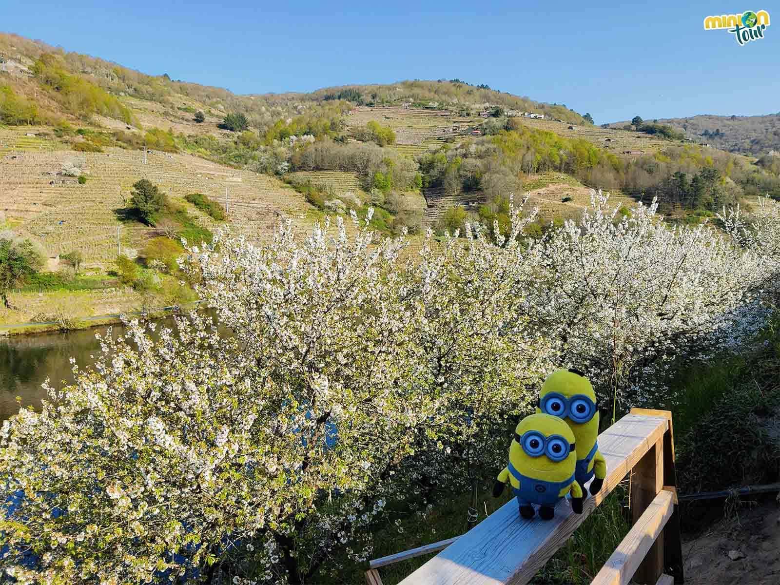 Cruzamos el río y llegamos a los cerezos en flor de Chantada