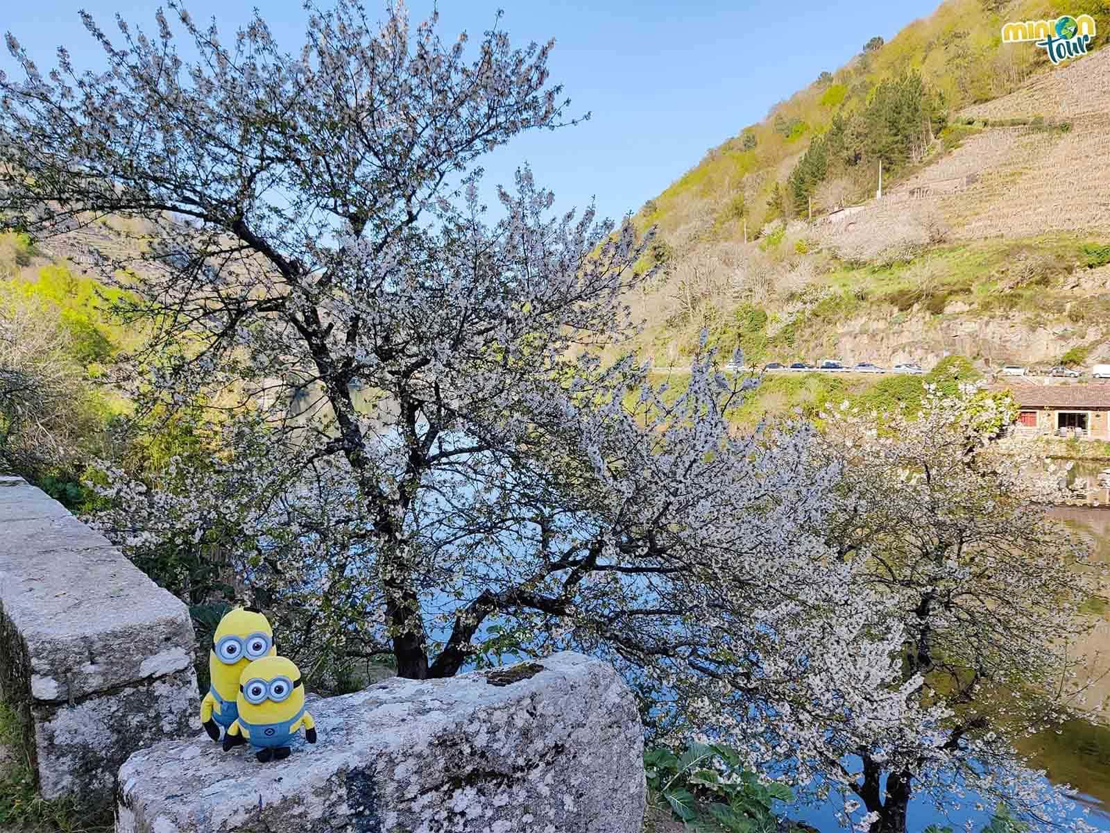 Cerezos en flor en la orilla del río Miño en Chantada