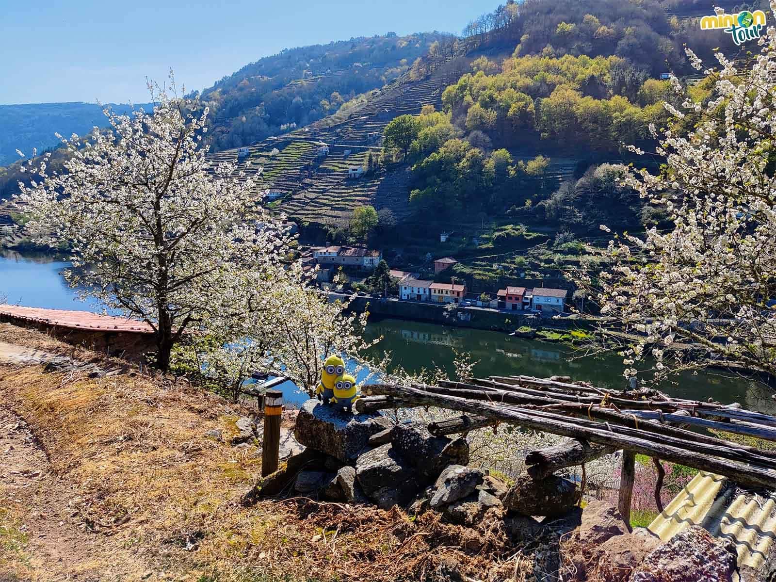 Nos vamos a ver la floración de los cerezos de Belesar