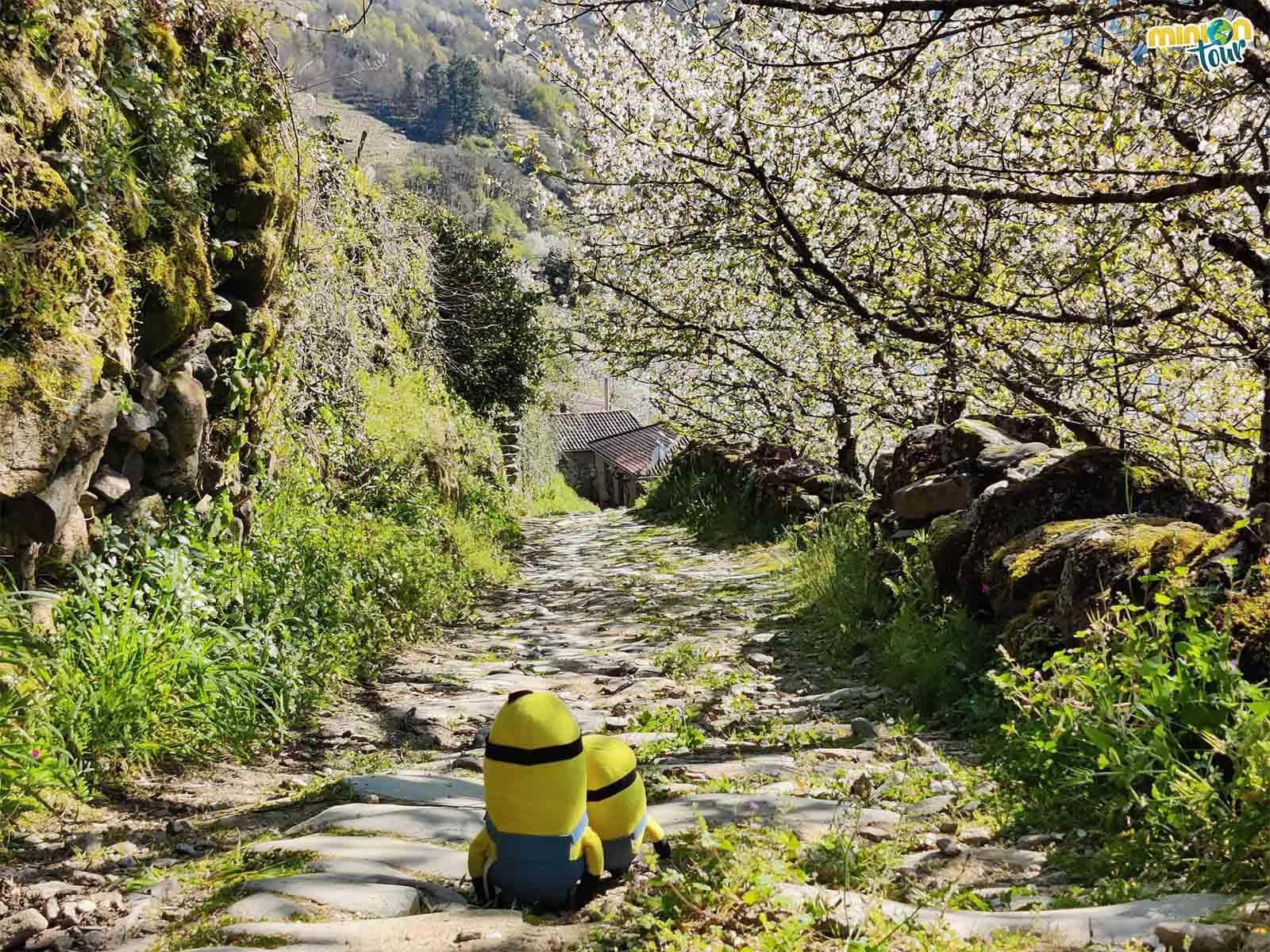 Minions paseando entre los cerezos en flor de Belesar
